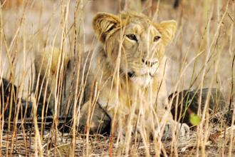 The recent death of 23 lions in a short span had sent shock waves across the country with canine distemper virus being said to be the reason behind many of these deaths.