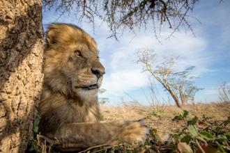 A lion in Serengeti National Park, Tanzania, captured with the BeetleCam. Photo courtesy: Will Burrard-Lucas