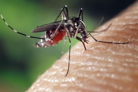 A file photo of Aedes Albopictus mosquito. Photo: Bloomberg