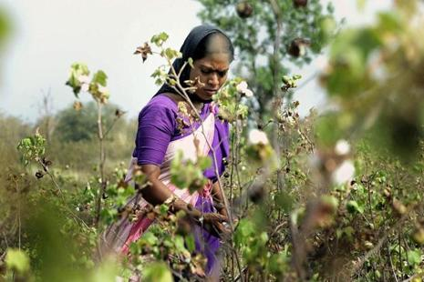 A farmer picks cotton in a field in Maharashtra. Photo: AFP