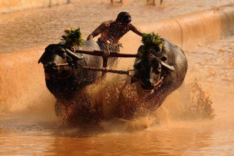 Kambala is a traditional annual buffalo race in Karnataka. Photo: HT