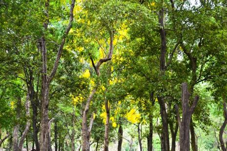 Currently there are about 6,000 acres of sandalwood plantations in India, and the area planted is increasing by more than 2,000 acres a year. Photo: iStockphoto
