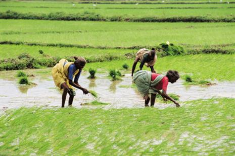 A file photo of paddy fields in Kerala. The LDF government had said the land in Metran Kayal will only be used for paddy farming, preventing Rakindo Developers from turning it into a resort.