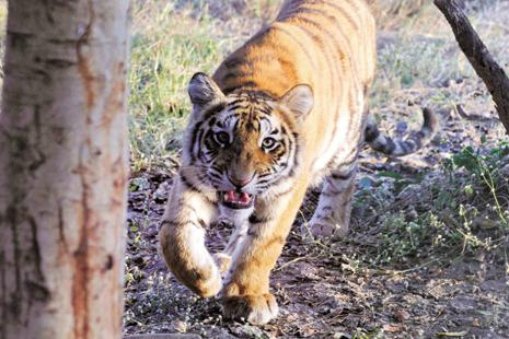 Illegal trade of tiger body parts is resulting in a growth in poaching in India. Photo: Shankar Mourya/HT