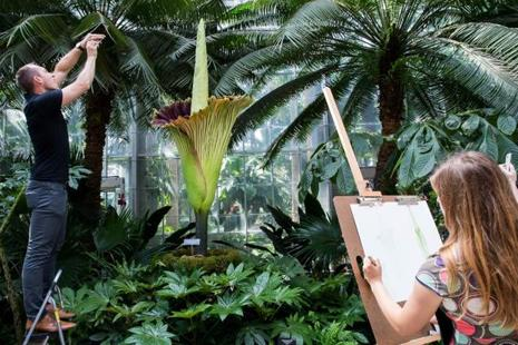 The stench from the opened corpse flower, or Amorphophallus titanum, has been called a combination of rotting flesh, smelly socks, garlic and dirty diapers. Photo: AFP