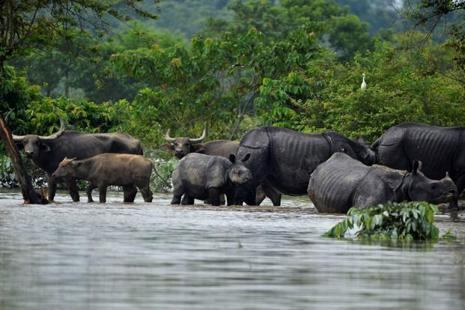 Rhinos and buffaloes are seen at the flooded Kaziranga National Park in Nagaon district, in Assam, on 15 August. Photo: Reuters
