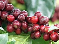Distinct flavour: Speciality coffees need good harvesting practices.