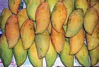 Special focus: Krishmaa mangoes are supposed to be the best in terms of sugar content for pulp manufacturers.