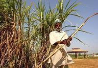 Crop glut: Sugarcane production may rise to a record 325mt in the year ending September 2008.