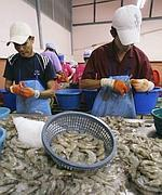 Hostile reception: Traders say it is difficult to continue the shrimp trade with the US in the present form