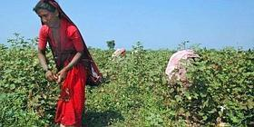 Higher yields: Field labourers picking cotton. JK Agri Genetics received clearance recently for the commercial sale of five cotton hybrids.