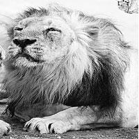 Facing danger: An Asiatic lion inside the breeding centre at Sakkar Bag zoological park in Junagadh town, Gujarat. It is one of the the most endangered species.
