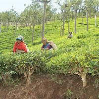 Overflowing cup: World total tea production is estimated to be around 3.5 billion kg, while consumption is about 3.2 billion kg.