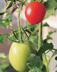 A GM tomato will have to be nutritionally superior to the natural variety under the proposal