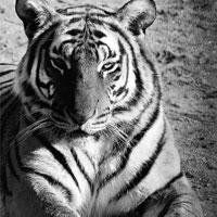 Safe habitat: Only about 1,500 tigers remain in India.