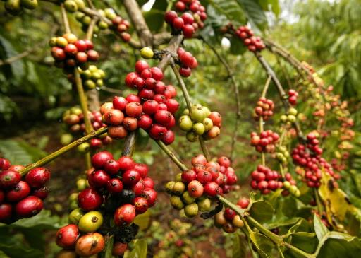 Helping hand: The commerce ministry has recently said the Centre is planning to set up a fund to bring an additional 123,600 acres under coffee production and will also help growers replant estates.