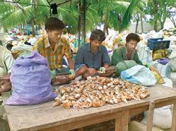 Workers polish shells in an open-air factory in Rameshwaram. The conch industry is booming, with growing orders from overseas and even fakes flooding the market