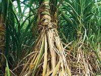 At the uniform purchase price of Rs21.50 a litre fixed by the govt, manufacturers may not supply ethanol if sugar-cane output falls as they would find better rates from the chemical and liquor industr