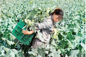 Reaping benefits: A Chinese farmer picks cauliflowers at a farm in Shenyang, north-eastern China's Liaoning province. The country has managed to grow more and cheaper food, bringing down prices and ra