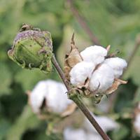 Pick of the lot:Scientists are worried that the right kind of Bt cotton is not being grown in India. Instead of true breeding varieties, India grows hybrid Bt varieties,which are more vulnerable to pe