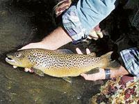 Brown trout: A British import.
