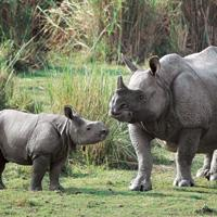 Larger interest: A file photo of a newborn one-horned rhino with its mother inside the Kaziranga National Park, Assam. The park is spread across more than 1,000 sq. km and is home to around 2,000 rhin