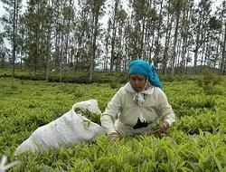 Greener pastures: The tea industry hopes that Turkey can become a gateway to Europe as well as Central Asia.