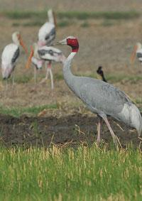 The Sarus Crane is the only resident breeding crane in India
