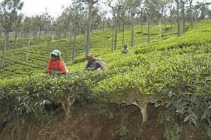 First pick: Women pluck tea leaves in a field outside Coonoor, Tamil Nadu. While other Indian teas sell for $1-1.5 a kg, Darjeeling tea is sold at a price between $4 and $9 a kg, depending on the qual