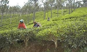 Revival time: A tea estate in Tamil Nadu. The commerce minister says 20 estates from the state have applied for the government initiative.
