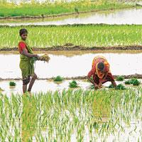 Need for urgency: Women plant paddy in a farm in Nalanda, Bihar. Officials in the ministry of water resources say irrigation projects in various states are taking shape and lack of funds will restrict
