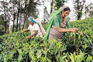 Reaping benefits: A woman works in a tea garden. Thanks to self-help groups, small growers have better bargaining power for their produce.