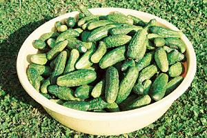 Losing charm: Nearly 45% of India's gherkin exports, valued at Rs502 crore for the year ending March, go to Russia, followed by the US, Canada and Europe.