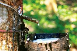 Rubber sap trickling into a cup. India is the fourth largest producer and exporter of natural rubber