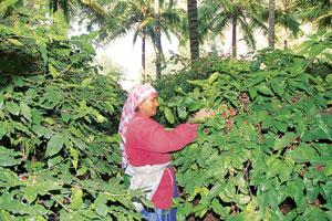 Revival drive: A coffee plantation on the outskirts of Bangalore. CDS' studies on plantation crops such as spices, tea, coffee and coconut would help it undertake further research to drive government