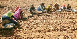 Farmers at a potato farm in Deesa, 155km north of Ahmedabad. Last month, the Union government announced a Rs60,000 crore loan waiver for small farmers, but experts say the efficacy of the scheme is ba