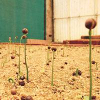 Seedlings being raised in beds at the Institute of  Wood Science and Technology in Bangalore. (Hemant Mishra/ Mint)