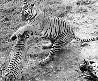 Ideal playground: A recent estimate shows that Nagarahole and its two neighbouring parks have one of the densest concentrations of tigers.