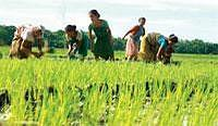 sowing hopes: A file picture of farmers planting paddy saplings. Prices of almost all varieties of paddy have been falling for the past few weeks