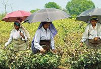 Good season: A tea estate in Dhagapur, Siliguri. The climate has been favourable and production is expected at 900 million kg this year.