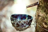 Every drop counts:A rubber tree being tapped for its milk on a rubber farm in Palakkad, Kerala.
