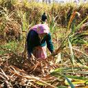 Low returns: Due to falling prices, farmers are planting less sugar cane
