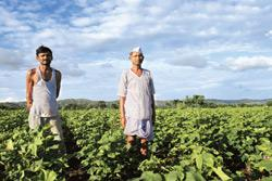 Under threat?: Cotton farmers at Hasti, Maharashtra. The mealy bug threat looms over the state, which has several cotton-growing districts. (Photo: Santosh Verma/ Bloomberg)