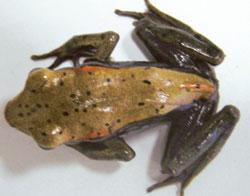 Utility: Biocoloured Rana curtipes (biological name) species was used for most of the study