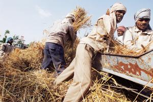 Grain crisis: Migrant workers thresh wheat in Punjab. India's food production, despite its potential, is lagging behind population growth.