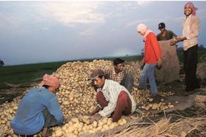 Bleak picture: Farmers busy packing potatoes near Shaktigarh in Burdwan district. A bumper crop this year has sent prices crashing, adding to the woes of farmers already burdened with rising input cos