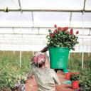 Bloom time: A flower farm in Debre Zeit, Ethiopia. Over the last six years, the Ethiopian government has lent more than $104 million to flower farmers, along with tax breaks, free land leases and duty
