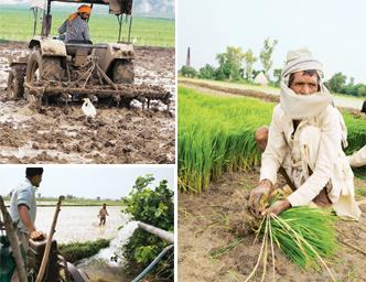 Pitching in: (clockwise from top left) Sunder Singh finds the stork an amusing distraction as he readies his field for transplanting. In the night, he will flood the field with water; Hari Ram, a labo