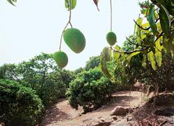 Power sap: Mango growers in Ratnagiri are protesting the construction and expansion of JSW's electricity project, citing discrepancies in the environmental clearance obtained by the firm last year. (P