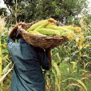 Healthy yield: A farmer reaps corn in a field on the outskirts of Karnal, Haryana. Overseas sales rose sixfold to 2.5 million tonnes this year